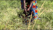Royalty Free Stock Footage of African woman harvesting chili peppers.