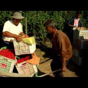 Men in China harvesting berries.