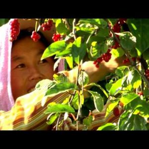 Close-up of a woman picking berries in China.