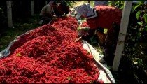 People harvesting berries in China.