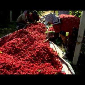People harvesting berries in China.