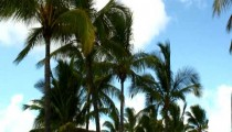 Group of palm trees swaying in the wind in Hawaii.