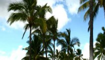 Palm trees swaying in the breeze in Hawaii.