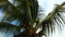Top of a palm tree swaying in the wind in Hawaii.