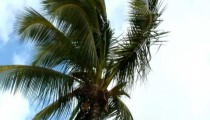 Shot of the top of a palm tree swaying in the wind in Hawaii.