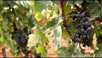 Shot of grapes in a vineyard in Tuscany Italy.