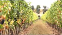 Vineyard in Tuscany Italy.