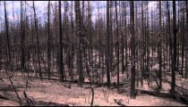 Shot of burned trees in a Yellowstone forest.