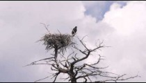 Eagle and its nest on top of a tree in Yellowstone.