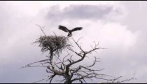 Clip of an eagle and its treetop nest in Yellowstone.