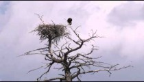 Shot of an eagle and its treetop nest in Yellowstone.