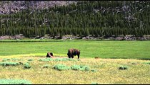 Two buffalo on a grassy plain in Yellowstone.
