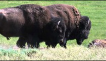 Two buffalo in a grassy field in Yellowstone National Park.