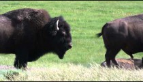 Clip of two buffalo in a grassy field in Yellowstone.