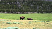 Shot of two buffalo in a grassy field in Yellowstone.