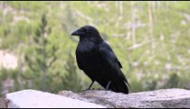Crow on a rock in the woods.