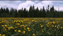 Clip of a field of sunflowers and pine trees.