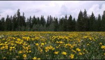 Shot of a sunflower field and pine trees.