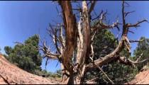 Dead, Weathered Tree in Desert
