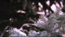 Racking focus footage of snow-covered evergreen branches