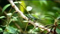Chameleon hanging onto branch which sways in the wind