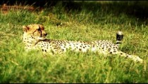 Cheetah relaxes in grass