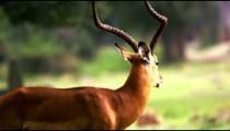 Male impala faces away