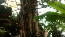 Tracking and racking focus footage of banyan tree and undergrowth