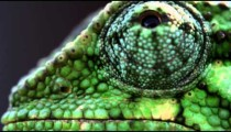 Extreme close up of chameleon profile