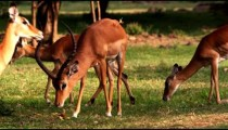 A group of impalas graze