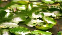 Racking focus footage of fern in front of a leaf-covered pond