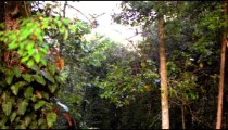 Pan of trees and vines of a Kenyan rainforest