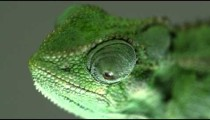 Chameleon profile close up