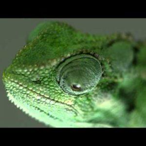Chameleon profile close up