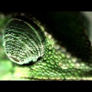 Extreme close up of a chameleon's eyes moving independently