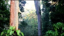 Low-angle pan of rainforest canopy