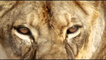 Extreme close up of female lion head and eyes