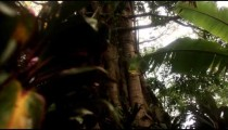 Tracking footage of banyan tree and undergrowth