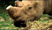 Rhino with trimmed horns eats dried grass