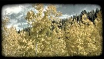 Yellow aspen trees 2. Vintage stylized video clip.