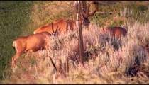 Slow motion footage of several bucks grazing near a fence