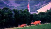 Two antlered deer graze in a meadow as a US flag flies