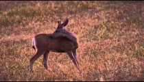 Slow motion footage of young buck grooming itself in meadow
