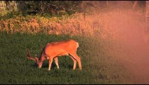 Slow motion footage of one antlered buck grazing at sunset