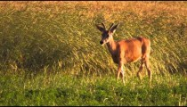 Young buck walks past line of plants waving in the wind