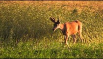 Young buck walks past line of plants waving in the breeze