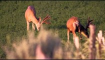 Slow motion footage of two antlered bucks grazing