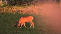Slow motion shot of a young two point buck feeding in alfalfa field.