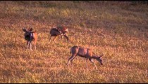 Slow motion shot of three deer in a field.