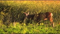 Slow motion shot of young male deer walking along edge of a field and tall meadow grass.